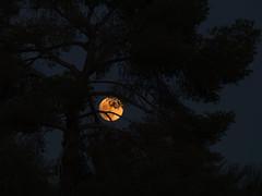Aleppo pine and supermoon (Distraction Limited) Tags: aleppopine pinushalepensis beavermoon frostmoon moonrise fullmoon moon luna moonillusion supermoon tucson arizona earthnaturelife