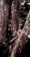 DSC_0300 (Rajavardan) Tags: nature squirel trees nikon d5200