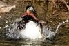 Pato salpicador (Enllasez - Enric LLaó) Tags: patomandarín aves aus bird anades ocells pájaros cambrils
