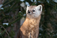Pop up Pine Marten  :) (NicoleW0000) Tags: pine marten carnivore wild wildlife photography animal outdoors woods