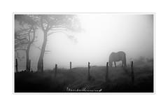 - Fria Niebla / Cold Fog - (-Montxo-) Tags: cold fog frio niebla black blanco white negro caballos arboles alambrada hierba grass tree campo countryside horses barbed wire