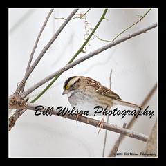 white-throated sparrow (wildlifephotonj) Tags: whitethroatedsparrow whitethroatedsparrows wildlifephotographynj naturephotographynj wildlifephotography wildlife nature naturephotography wildlifephotos naturephotos natureprints birds bird sparrow sparrows