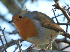 Christmas Robin (markgosling94) Tags: robin nature wildlife attenborough reserve lumix dmcfz72