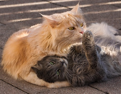 Your paw is dirty ! (FocusPocus Photography) Tags: fynn linus katze kater cat chat gato tier animal haustier pet brder brothers