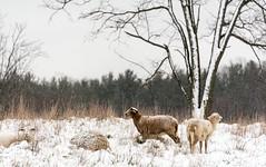 Snow Sheep (rickhanger) Tags: nature nationalpark cvnp cuyahogavalleynationalpark landscape snow firstsnow autumn fall tree sheep snowcovered therewillneverbeanotherewe