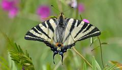 Scarce Swallowtail  (Iphiclides podalirius). (Bob Eade) Tags: butterflies cevennes france scarceswallowtail lepidoptera spring