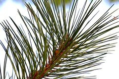Needles (vinnie saxon) Tags: pine needle green tree nature park backlight macro closeup nikoniste nikon d600 creative light white detail