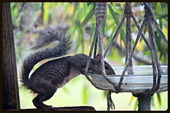 thirsty (jill.brubaker) Tags: sciuruscarolinensis easterngraysquirrel squirrel rodent thirsty drink