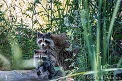 August 1, 2015 - Racoons at the Rocky Mountain Arsenal National Wildlife Refuge. (Michelle Jones)
