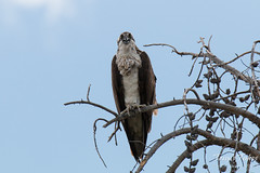 Female Osprey stares at the photographer