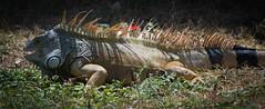 Garrobo (Luis Purata) Tags: parque iguana garrobo
