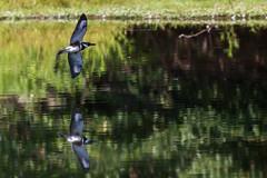 Belted Kingfisher (carlson322) Tags: nature birds canon wildlife nj kingfisher birdsinflight bif beltedkingfisher 400mm