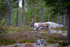 Femunden und Jmtland-542 (jo.hermann) Tags: nature norway landscape reindeer norge scenery schweden norwegen canoe mohawk sverige kanu rentier gatz paddeln femunden femund feragen