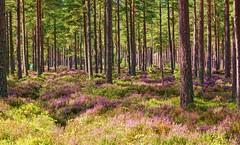 Among the blooming heather. (artanglerPD) Tags: trees pine purple heather royal deeside braemarzoom