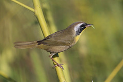 Common Yellowthroat (gregpage1465) Tags: lake bird nature photography photo texas greg wildlife page common sheldon warbler yellowthroat commonyellowthroat geothlypistrichas gregpage