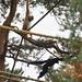 Golden-cheeked gibbons