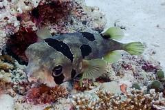 DSC02383 (Martin Flemig) Tags: underwater diving scubadiving kamera tauchen malediven unterwasser nex7 helengeliislandresort