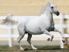 Runing wheely copy (frend Z) Tags: kuwait q8 الكويت كويت حصان خيل baitalarab بيتالعرب