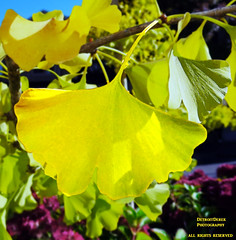 Ginkgo (DetroitDerek Photography ( ALL RIGHTS RESERVED )) Tags: light canada tree green nature beauty yellow digital canon coast leaf ginkgo october downtown bc northwest britishcolumbia powershot pacificocean allrightsreserved elph qualicumbeach 2015 nothdr
