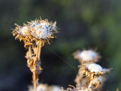 IMGP4365 (Ripper2860) Tags: sunset plant fall pentax dandelion seeds greenbelt pentaxda4028limited singleinchallenge