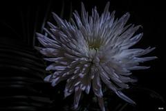 Dahlie (Katz-Ffm) Tags: flower nature yoga licht nikon blossom blumen 40mm nikkor blte weiss schatten dahlie