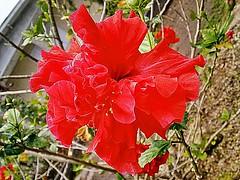 Hibiscus Rosa-Sinensis - Hibisco - Flora - Florianópolis-SC - Fotografado por Regis Silbar em 11-11-2015 (Regis Silbar) Tags: florianópolis flor hibisco santacatarina hibiscusrosasinensis regis florvermelha silbar regissilbar