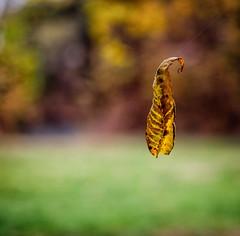 Suspended (Michael Kline) Tags: autumn fall virginia leaf roanoke