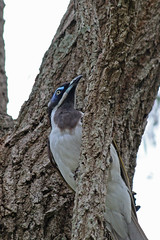 Blue-faced Honeyeater (Jenny Thynne) Tags: bird nature wildlife australia bluefacedhoneyeater entomyzoncyanotis darlington sequeensland