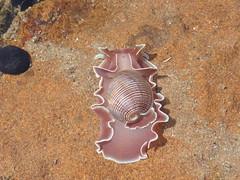Bubble Snail (tessab101) Tags: ocean rose rock snail australia petal pools bubble gerringong physis hydatina