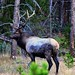 An Elk in Kawuneeche Valley (Rocky Mountain National Park)