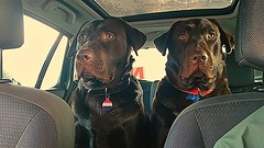 Eyes Wide Open.. (Michael C. Hall) Tags: dog car yellow eyes labrador chocolate seat stare worried