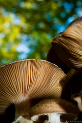Schirmherr (ralf.kerkhoff) Tags: deutschland d natur nrw makro pilze nahaufnahme experimente botanik reken kleinreken