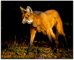 Maned Wolf (Chrysocyon brachyurus) (ctofcsco) Tags: 14000 1d 1div 20 200mm black brown canon chrysocyonbrachyurus colorado ef200mm ef200mmf2lisusm eos1dmarkiv eos1d explore f2 green manedwolf mark4 markiv orange red supertelephoto telephoto unitedstates usa white wolf yellow 2015 animal bokeh denver denverzoo explored geo:lat=3975024770 geo:lon=10494968870 geotagged nature northamerica statecapitol vinestreethouses wildlife wwwdenverzooorg zoo outdoor best wonderful perfect fabulous great photo pic picture image photograph