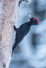 Palokärki, Dryocopus martius, Black woodpecker (MatsOnni) Tags: birds linnut blackwoodpecker dryocopusmartius palokärki