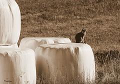 L'idal du calme est dans un chat assis. Jules Renard (Bouteillerie) Tags: pets animal cat canon landscape chat paysage extrieur kamouraska environnement flin agricole basstlaurent pourlamourdeschats catmoments catnipaddicts bouteillerie catsoncamera