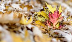 Fall Foliage (Cathy Neth) Tags: autumn fall nature colors leaves leaf fallcolors leafs naturephotography project365 365project 365photoproject fallphotography flowermoundphotographer cathyneth cnethphotography flowermoundphotography 2015inphotos