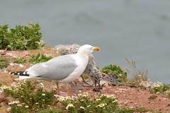 DSC_9240 Zilvermeeuw : Goeland argente : Larus argentatus : Silbermowe : Herring Gull