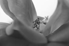 For Macro Mondays/Redux 2015/A Flower in B+W (laura_rivera) Tags: flower macro sony 55mm vivitar 55mmf28 fotodiox macromondays 55mmmacro laurarivera a6000 vivitar55mm fotodioxlensadapter redux2015myfavoritethemeoftheyear