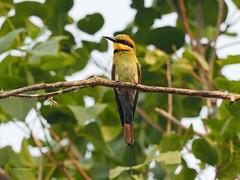 Rainbow Bee-eater (male) (Vas Smilevski) Tags: birds birding australia nsw beeeater australianbirds wollemi rainbowbeeeater meropidae meropsornatus mc14 olympusomdem1 mzuiko40150mmf28pro