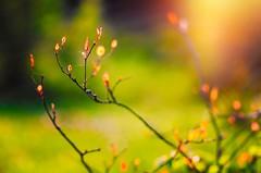 Sun Rays (Caucas') Tags: sinop karadeniz nikon d7000 85 mm 85mmf18g nikkor sun rays nature flower warm flare red güneş 2016 octaber blacksea bokeh dof green life wild doğa hayat türkiye flor fleur blomst plant lens çiçek tomurcuk kafkas mgkafkas
