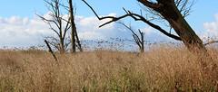 (Evelien Gerrits) Tags: oostvaardersplassen gerrits eveliengerrits canon canon600d canoneos600d natuur nature wolk wolken cloud clouds vogels birds bomen boom tree trees