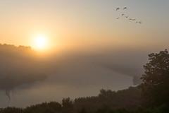 Gnse im Morgennebel (tleesch) Tags: anatidae anserinae aves entenvgel gnse gnsevgel naturpark naturparkmecklenburgischeschweizundkummerowersee nebel peene peenetalvonsalembisjarmen sonnenaufgang vgel demmin mecklenburgvorpommern deutschland de landschaft