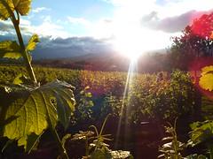 Viedo tropical al ocaso (Jucarob) Tags: contraluz viedoainkarim sutamarchn boyac colombia sauvignonblanc atardecer