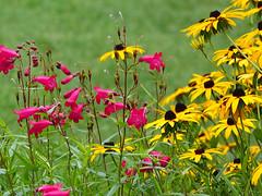 rudbeckia, penstemmon and raindrops (mark.griffin52) Tags: olympusem5 england dorset abbotsbury garden penstemon rudbeckia flowers