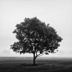 Stillness (Damian_Ward) Tags: damianward photography bw mono monochrome backandwhite tree fog foggy mist misty