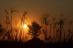 Okavango Sunset; Papyrus (Jos Rambaud) Tags: cyperuspapyrus papyrus papiro planta plant sunset atardecer sun sol okavango okavangodelta tree delta rio river africa afrika viaje travel