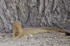 Slender Mongoose (Galerella sanguinea) (piazzi1969) Tags: slendermongoose galerellasanguinea mongoose mangusten mammals wildlife africa namibia etosha okuakuejo canon eos 5d markiii ef100400mm
