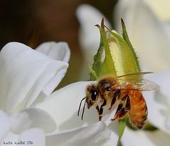 Oct. 15 16 (209)  Bee Macro (KatieKal) Tags: bee honeybee roses white petals bud plant wings macro canon60d