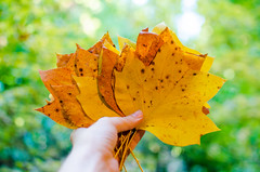 Fall Leaves (UniquelyHis4ever) Tags: fall leaves autumn leaf leafs color colorchange outside nature tree