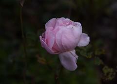 DSC_3193 (PeaTJay) Tags: nikond750 reading lowerearley berkshire macro micro closeups gardens outdoors nature flora fauna plants flowers rose roses rosebuds